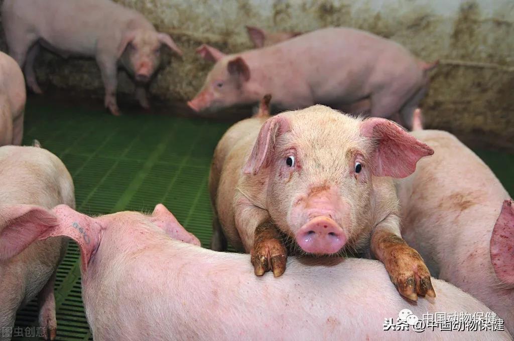 【基层经验】浅谈饲料禁抗之后猪场疫病的防控措施