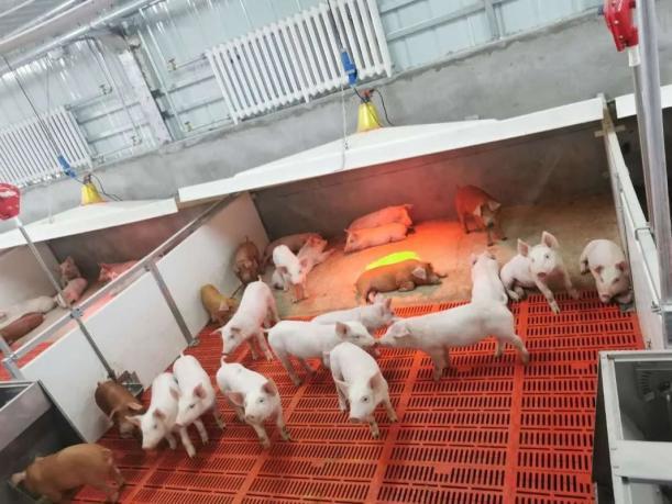 好环境引来总投资20亿元项目!全市规模最大的生猪养殖仔猪繁育项目正在建设