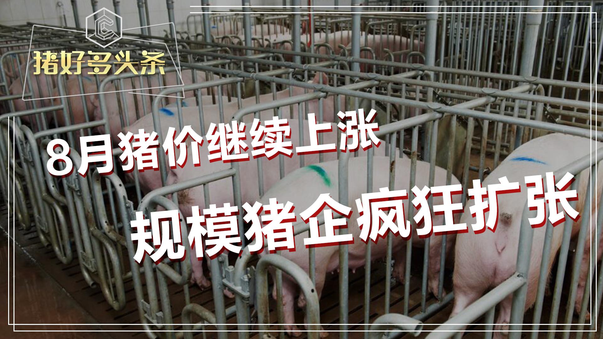 8月猪价开门红,规模猪企疯狂扩张,下半年猪价还会涨?