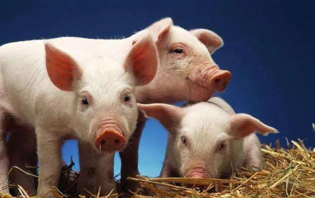 猪病防治:猪低温不食您真的知道原因吗?