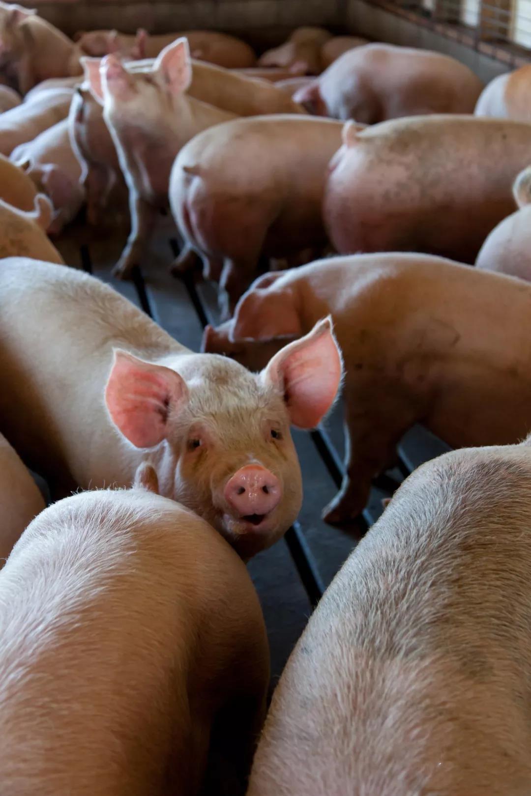 200斤、250斤、300斤......你认为猪体重多少出栏才最合算?