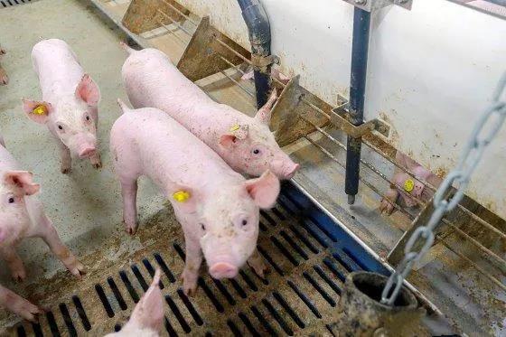 颠覆认知:连续14天饲喂含非瘟病毒血浆的商业饲料对猪没有感染性