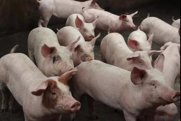 十个养猪小妙招,教你如何养好猪