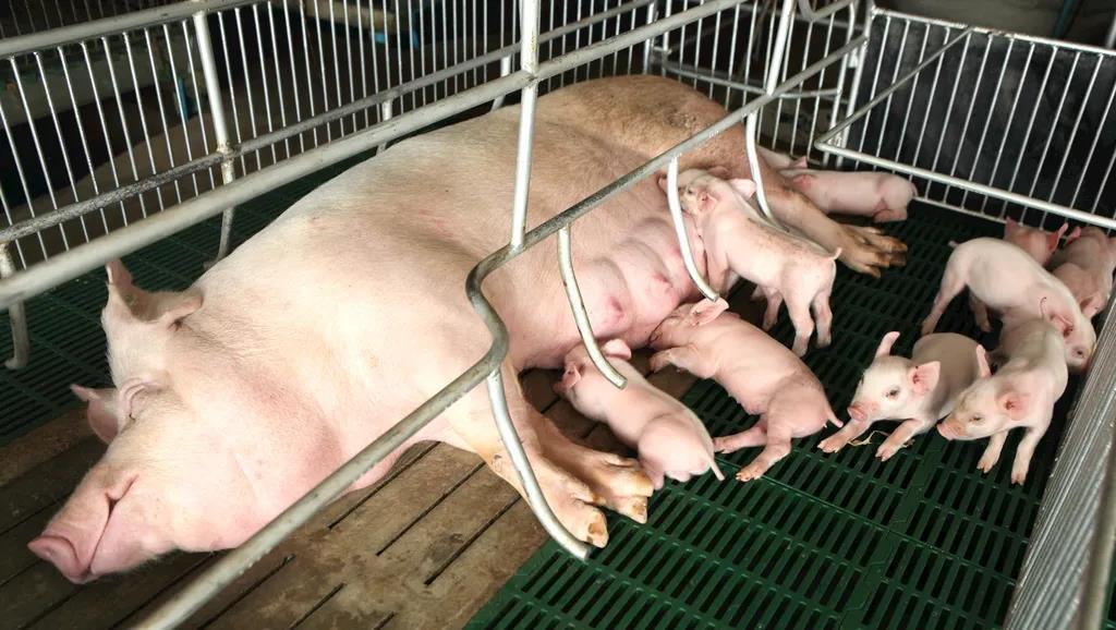 教你几招鉴别母猪泌乳量,提前做好饲养管理!