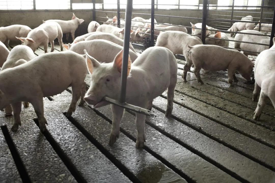 热应激与霉菌毒素如何影响猪的肠道健康