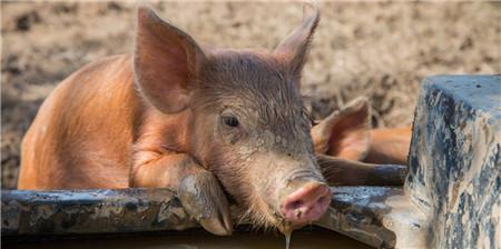 """《报告》指出,坚持""""两疫""""防控和生猪稳产保供两手抓 我国生猪产能年底或可恢复八成以上"""