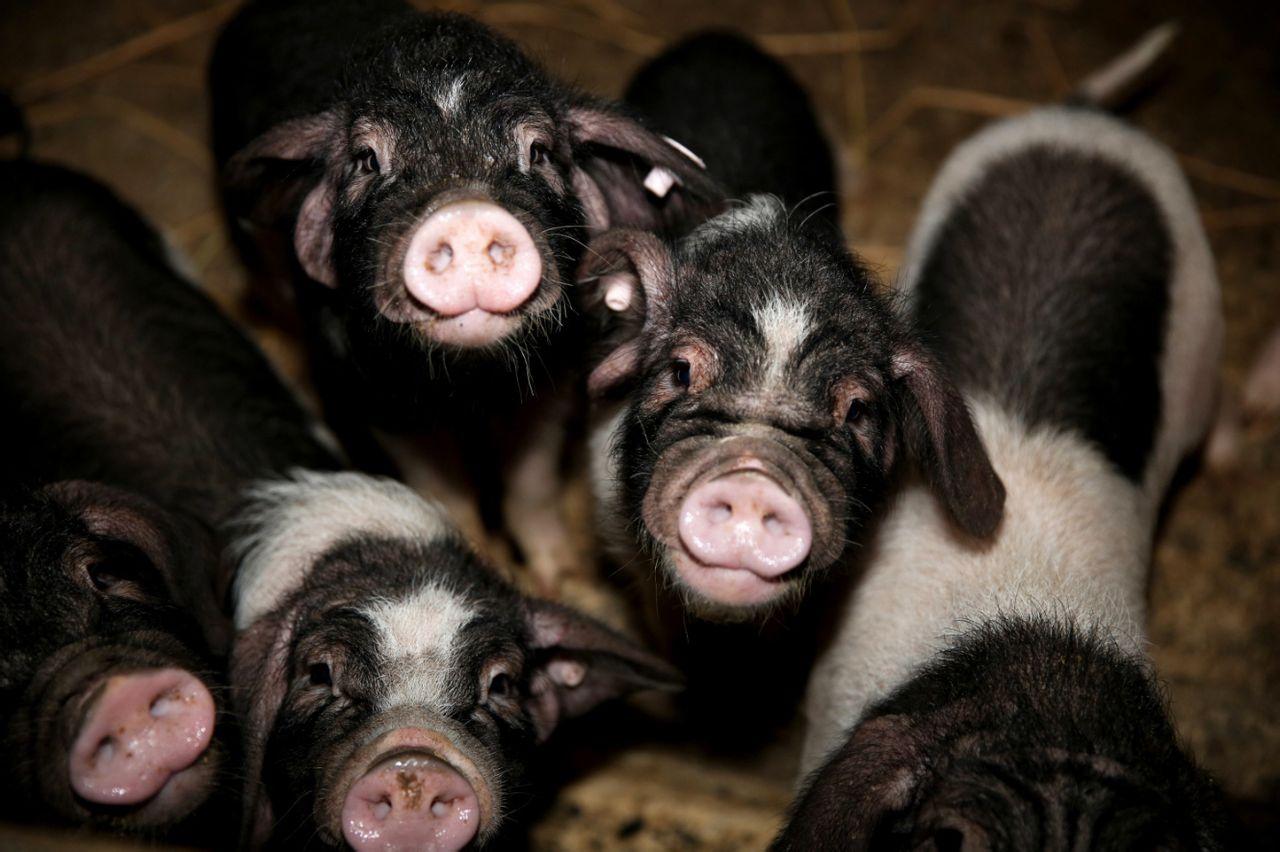 8月5日20公斤仔猪价格,较往年翻倍,仔猪价格涨至106.2元/公斤!