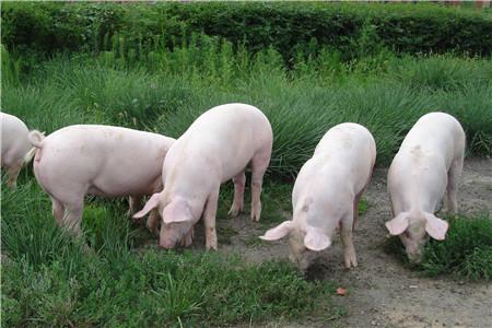 生猪养殖专题报告:当前时点如何看待下半年猪价?