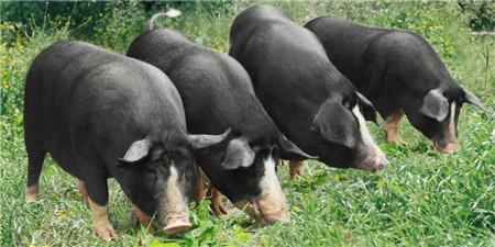天康农牧永昌县百万头生猪项目母猪已达6800头