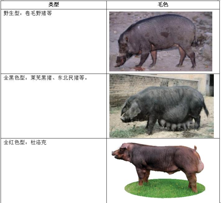 猪毛色作为猪重要的品种特征之一,有关其一般的遗传规律