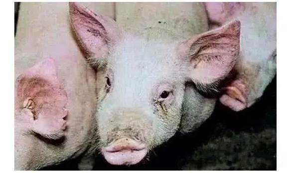 猪为什么咳嗽?引起猪咳嗽的四种常见疾病!