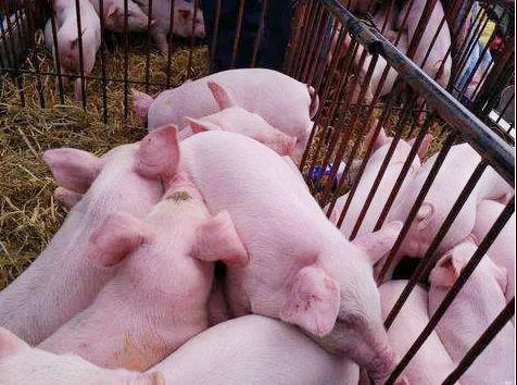仔猪成活率百分之九十九,秘诀在哪里?