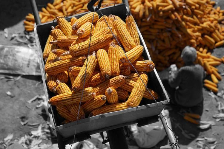 玉米价格疯狂上涨的背后是什么原因?未来能否突破1.4元大关?