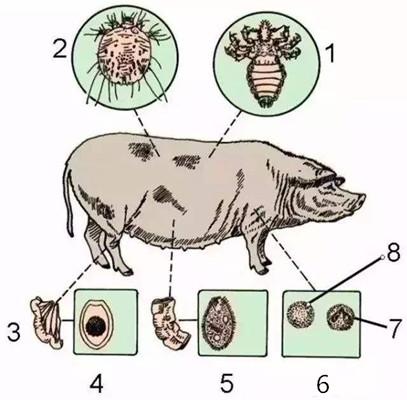 养猪新技能,精准投喂驱虫药,事半功倍效果好。
