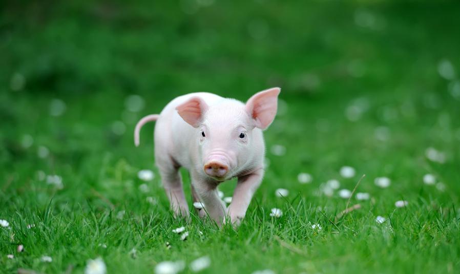 仔猪腹泻不是它的错,是其哺乳母猪的错