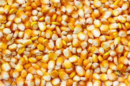 玉米价格分析最新:山东玉米到货量大增影响价格