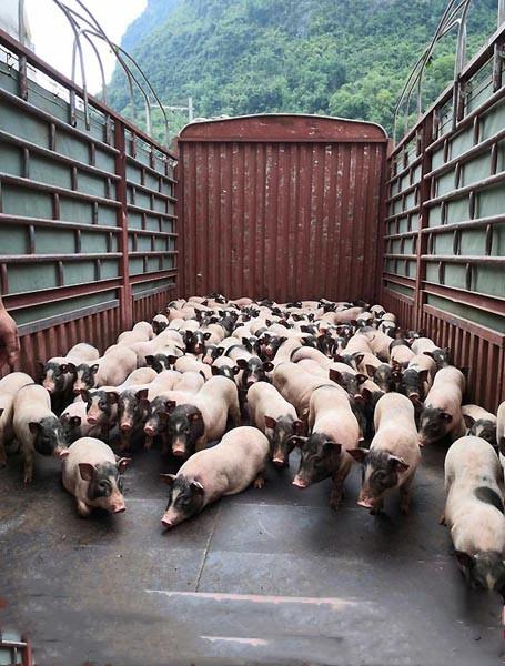 巴马加快生猪复产 贫困户实现产业增收