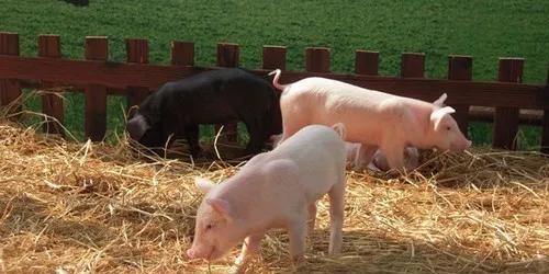 陕西乾县:生猪养殖成为金钥匙 助力开启致富门