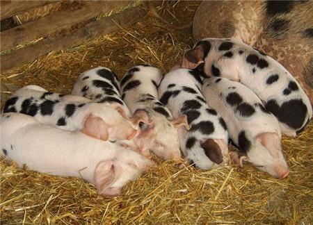 猪场发生流行性腹泻,怎样使10日龄以内的仔猪免受灭顶之灾!