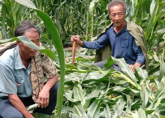 """""""二师兄""""组团觅食!多个村庄大片玉米被毁,政府将补偿"""