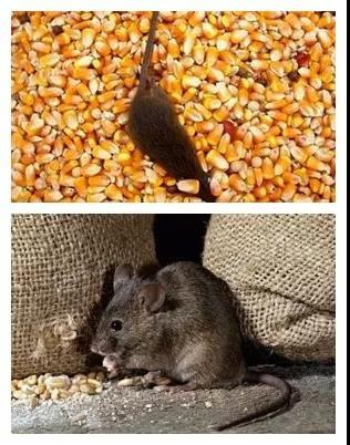 只需一包黄油,养殖场灭鼠轻松搞定