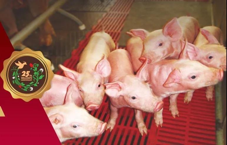 禾丰牧业上半年猪料销量同比增长61% 东北区域实现翻番