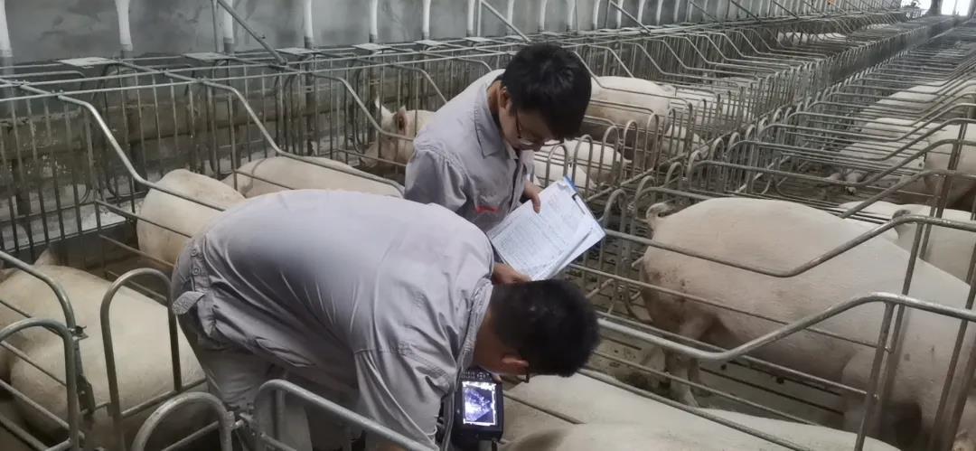 """七天速成班!猪场""""小白""""一周上手生产"""