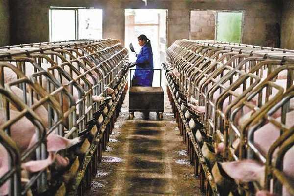 规模化养猪 重庆猪肉自给率将达96%以上