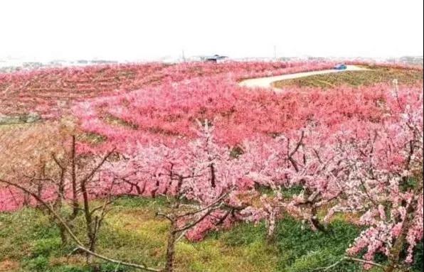 """为了让30万头猪安心排便便,我们种下""""十里桃花"""",收获了""""神仙水果"""""""
