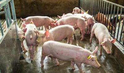 8月9日全国外三元生猪价格表,东北保持涨势,猪价上涨的几率高!