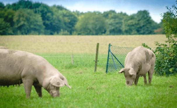 8月9日全国内三元生猪价格行情,本周末猪价继续下跌,东北跌幅扩大!