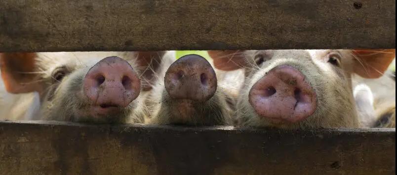 高温、暴雨,养猪继续小心行事!