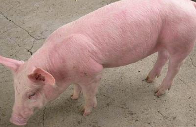 从流行病学、临床症状与诊断、防治措施等方面详解猪附红细胞体病
