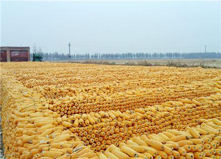 8月10日饲料原料价格:企业下调玉米收购价,豆粕提货创新高!