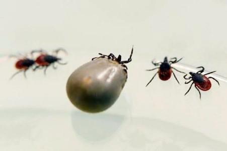 """切断""""非瘟""""病毒传播途径之消灭软蜱(附软蜱高清图)"""