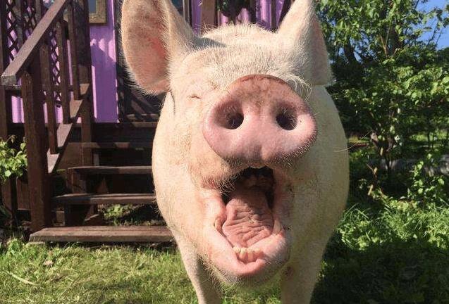 万科跨界养猪实质步伐:在山东东营建345亩生猪养殖基地