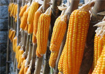 """玉米最新价格:玉米价格跌势再现,""""天花板""""已探明?"""
