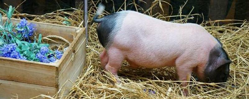 8月10日全国10公斤仔猪价格表,今日四川汉源仔猪单日报价最高!
