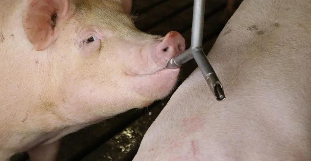 生物安全的负面作用,让猪群变得免疫幼稚。