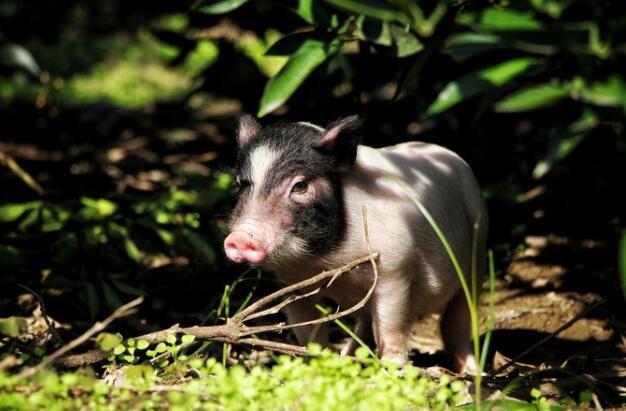万科欲在山东养猪 这会是门好生意吗?