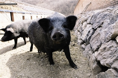 8月11日15公斤仔猪价格,饲料涨价,成本增加,养殖户要做好防范!