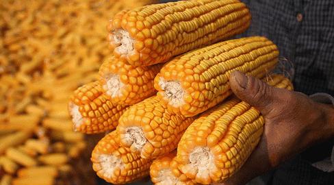 玉米最新行情:半年涨幅达411元/吨!利空因素来袭,下跌成定局?