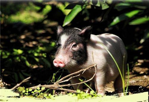 养殖户认为8月猪价会涨至最高峰,为何?