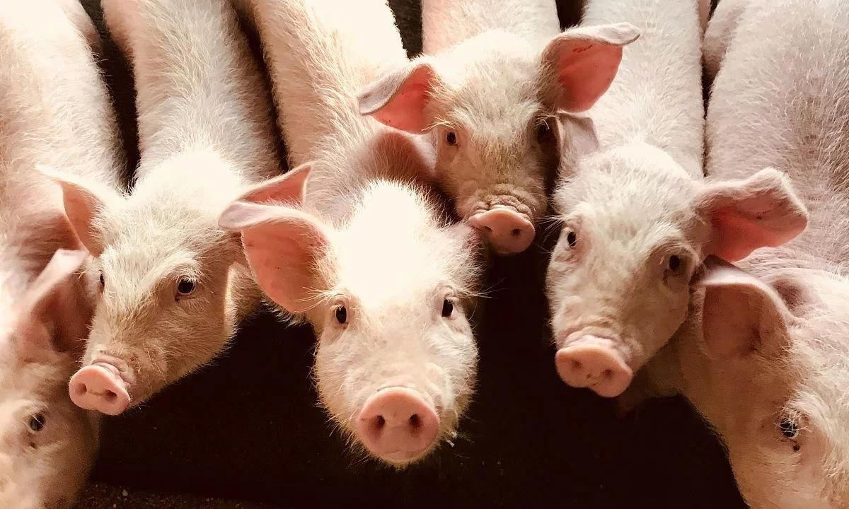 生猪养殖小常识:猪在不同阶段下会碰到一些常见的病菌都有哪些?