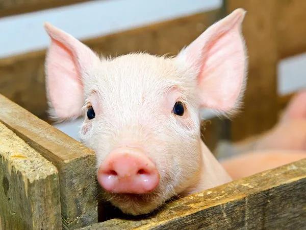 养猪业的数字真诡异!猪价与生猪存栏竟同步上涨?!