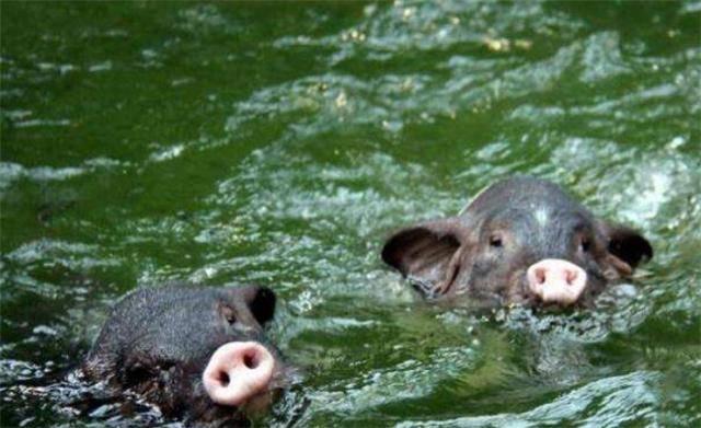 有效缓解夏季猪群热应激的5种方法