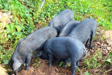 江西渝水区:现代畜牧业稳中向好
