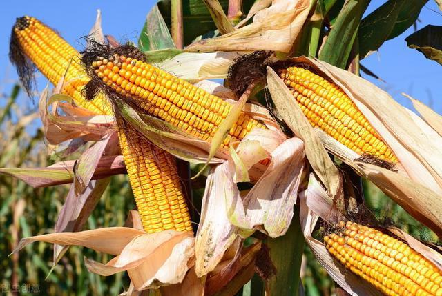 8月11日全国玉米价格行情,短期内玉米价格继续弱势调整!