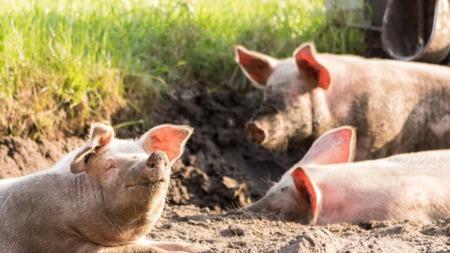 猪价呈现缓慢下降,屠宰企业压价意愿依旧较强
