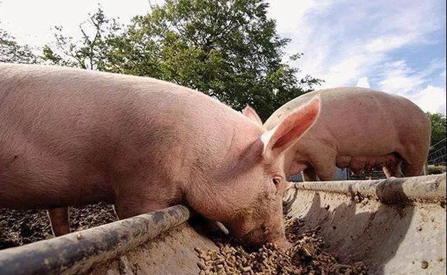 改善四个方面,全面解决育肥猪生长缓慢问题。